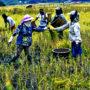 Farmers in Ziro organic farming